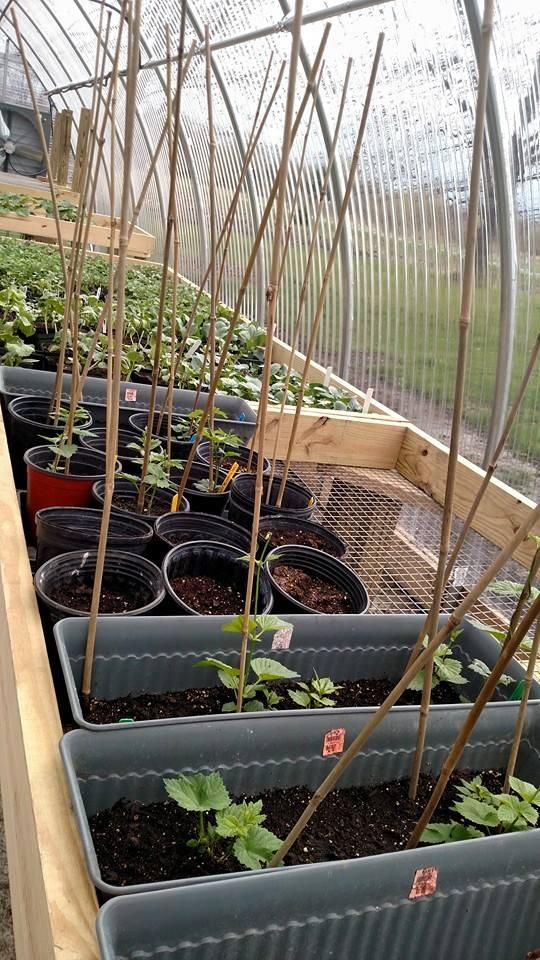 greenhouse hops